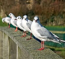 Black-headed Gulls All In A Row by Susie Peek