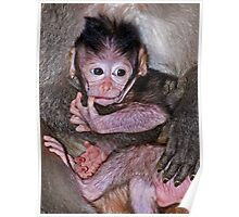 Baby Macaque Poster