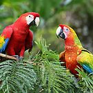 Scarlet Macaws - Costa Rica by Jim Cumming