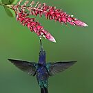 Saberwing Hummingbird - Costa Rica by Jim Cumming