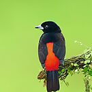 Passerini's Tanager - Costa Rica by Jim Cumming