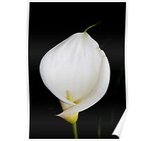 Calla Isolated Poster