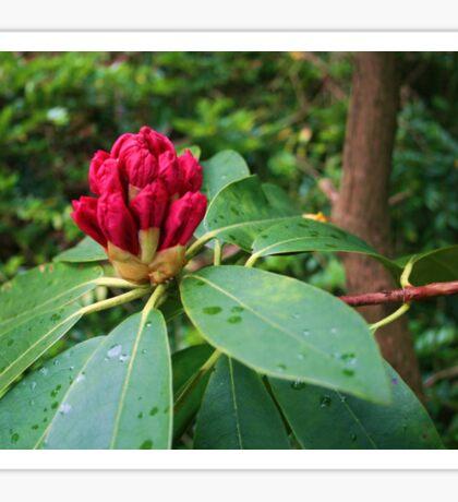 Rhododendron In Bud Sticker
