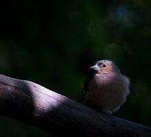 Chaffinch bird in the spotlight by Sara Sadler