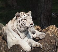 White Tiger by franceslewis