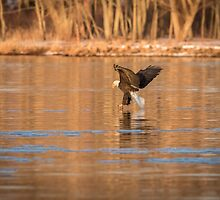 The Great American Bald Eagle 2016-11 by Thomas Young