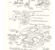 Kidney development and glomerulus of the mature nephron by neuraloot