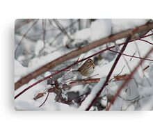 Song sparrow in the snowy brush Canvas Print