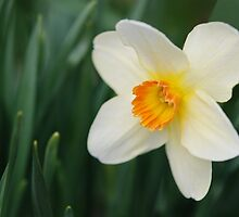 One Miniature Daffodil by Kathleen Brant