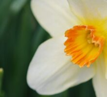 One Miniature Daffodil Sticker