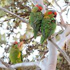 Musk Lorikeets (Glossopsitta concinna) - Thorndon Park, South Australia by Dan & Emma Monceaux