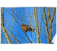Red-Tailed Hawk Youngster Poster