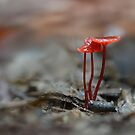 Red Mycena by Erin Anderson