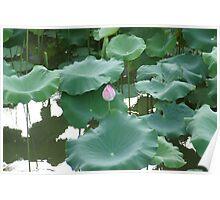 Lotus in Shinjuku Gyoen National Garden Poster