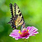 Tiger Swallowtail Butterfly by Susan S. Kline