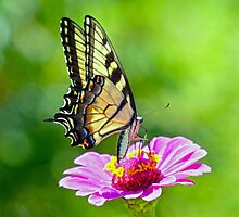 Tiger Swallowtail Butterfly by Susan S. Kline