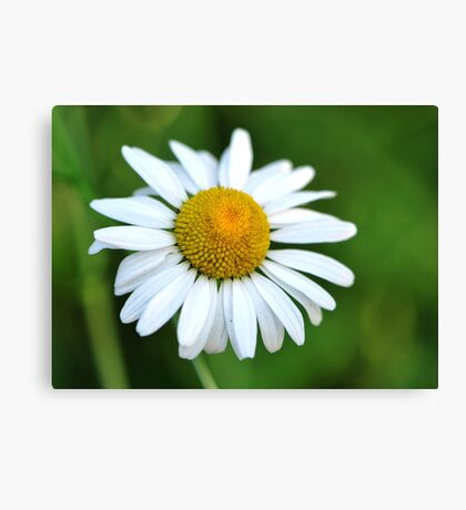 He Loves Me... He Loves Me Not!  Canvas Print