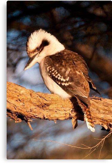 Coogee Kookaburra by Erik Schlogl