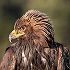Wild Golden Eagle by Carl Olsen