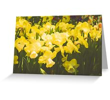 Impressions of Gardens - Golden Daffodil Blooms Greeting Card
