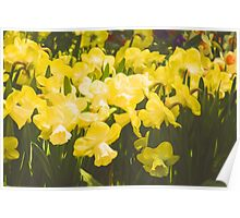 Impressions of Gardens - Golden Daffodil Blooms Poster