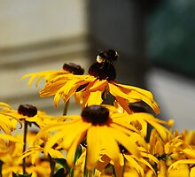Bee on Rudbeckia Flowers by jojobob