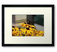 Bee on Rudbeckia Flowers Framed Print