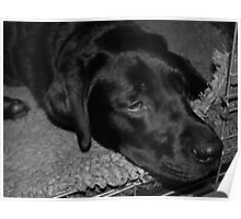 Sleeping black Labrador Poster