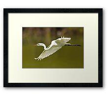 Great White Egret in Flight Framed Print