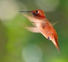 Rufous Hummingbird in Flight by William C. Gladish