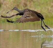 Limpkin Takeoff by William C. Gladish