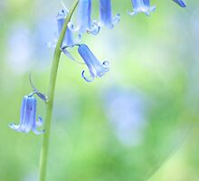 Bluebells  by imagejournal