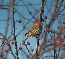 House finch plucking fruit from the crabapple tree by Linda Crockett