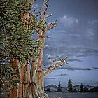 Bristlecone Pine by CarolM