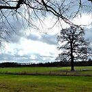 A great old oak-tree by jchanders