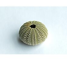 Sea Urchin Shell Photographic Print