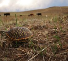 Box Turtle in the Nebraska Sandhills Sticker