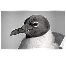 Laughing Gull Two  Poster