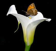 butterfly on a lily flower by Sara Sadler