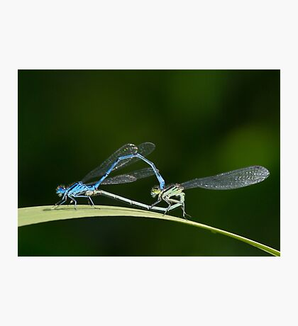 mating damselflies Photographic Print
