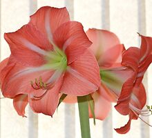 My Amaryllis #2 by AnnDixon