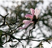 Winter Magnolia by Susie Peek