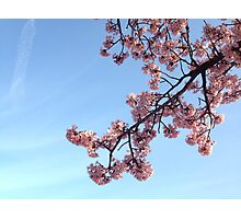 Pink Sakura/Cherry Blossom Photographic Print