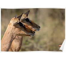Impala in Kwazulu-Natal South Africa Poster