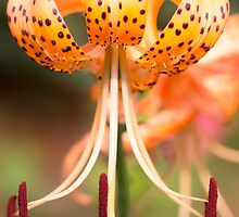 Exotic Tiger Orange Lily by daphsam
