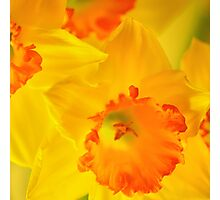Bright Daffodil SQ  Photographic Print