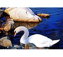 Julia's Swan Photographic Print