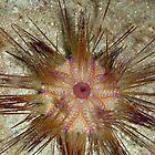 Blue-spotted Sea Urchin by Mark Rosenstein