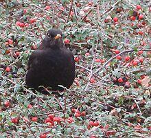 Blackbird with berries by Astrid de Cock