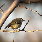 Ruby-crowned Kinglet by Lynn Starner